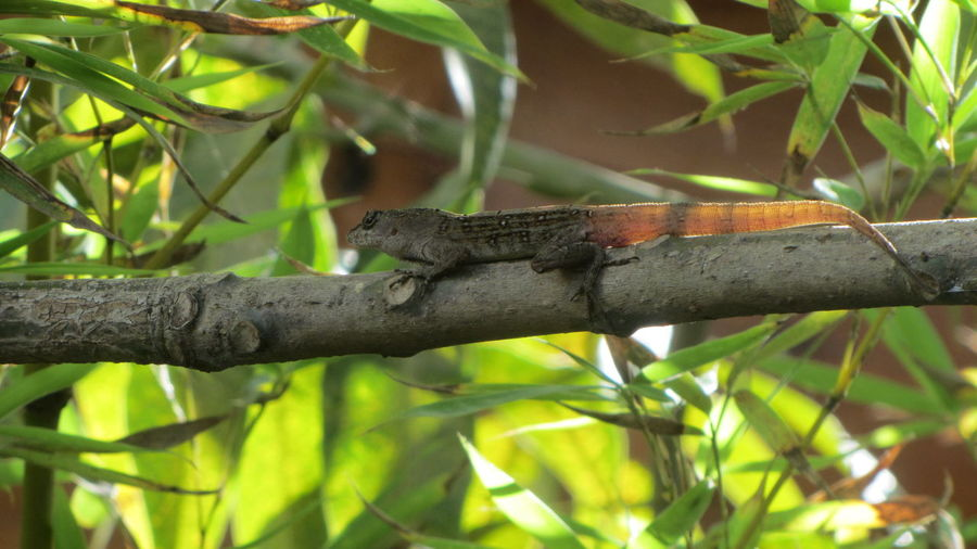 Tulum , Rivera Maya. Animal Themes Animal Wildlife Animals In The Wild Close-up Day Green Color Lizard Lizzard Nature No People One Animal Outdoors Reptile Tree