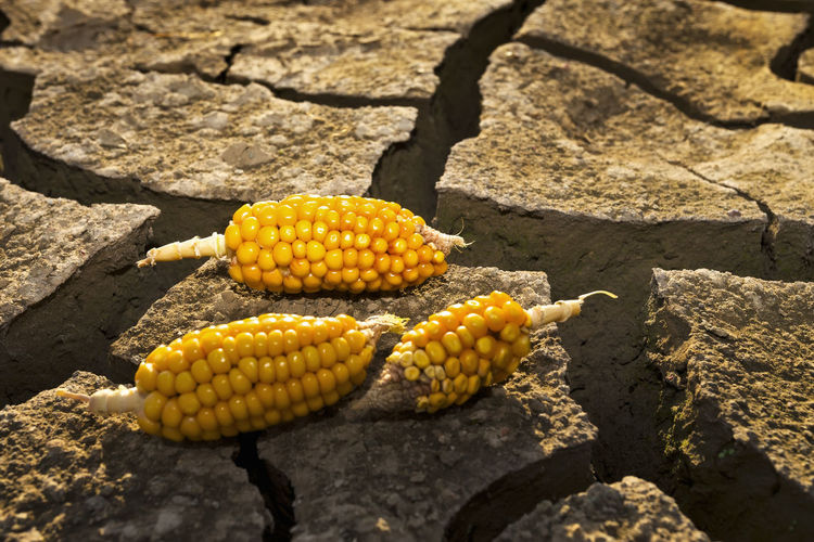 High Angle View Of Corns On Cracked Field
