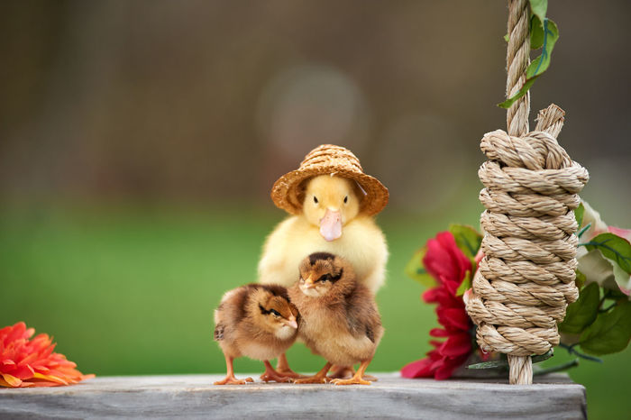 Two Chicks, One Duck in a Hat, One Swing Baby Chickens Baby Duck Chickens Close-up Duck Farm Animals Farm Animals, Pig, Farm Life,sleeping Big, Resting Pig, Pig Pen, Black And White Farm Life
