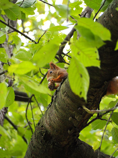 Animal Themes Animal Wildlife Animals In The Wild Branch Day Green Color Growth Leaf Low Angle View Mammal Nature No People One Animal Outdoors Red Panda Squirrel Tree