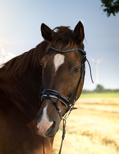 Animal Head  Animal Themes Bridle Brown Close-up Day Domestic Animals Field Horse Livestock Mammal No People One Animal Outdoors Sky Pet Portraits