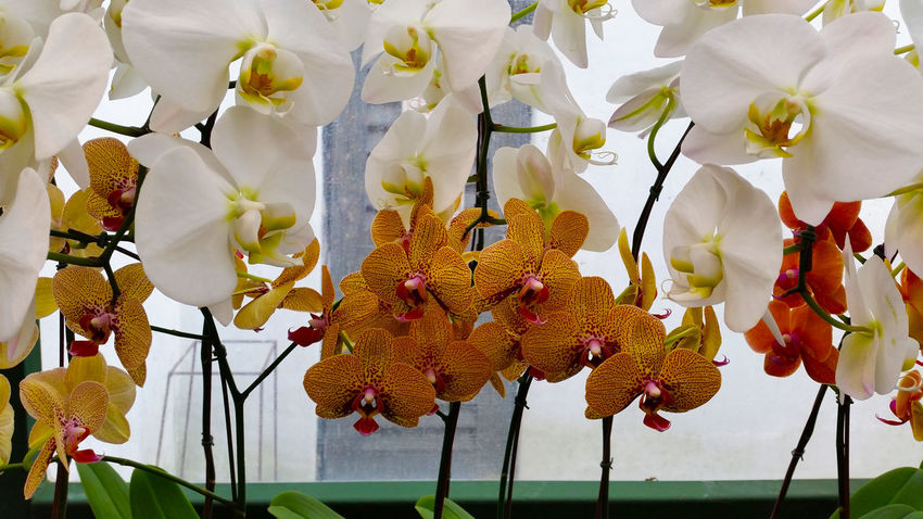 Colours in White..... Beauty In Nature Blossom Flower Fragility Freshness In Bloom Multi Colored Orchid Blossoms Orchid Colours Orchid Obsession Orchid Types Outdoors