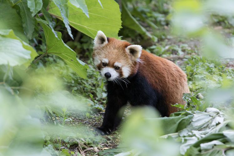 Red panda on ground
