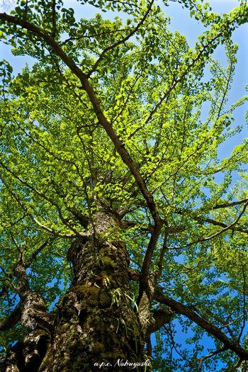 新緑 Fujifilm XF14mmF2.8R Japan 福井 Fukui 大野 Trees Green Fujifilm X-E2