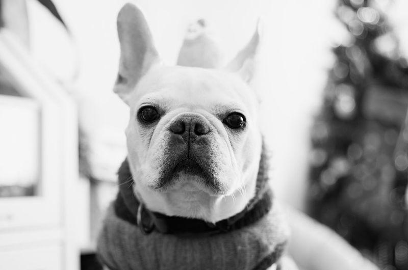 Taking Photos Cheese! Monochrome Black And White Black & White EyeEm Best Shots Frenchbulldog Dogs Of EyeEm I Love My Dog EyeEm Best Edits