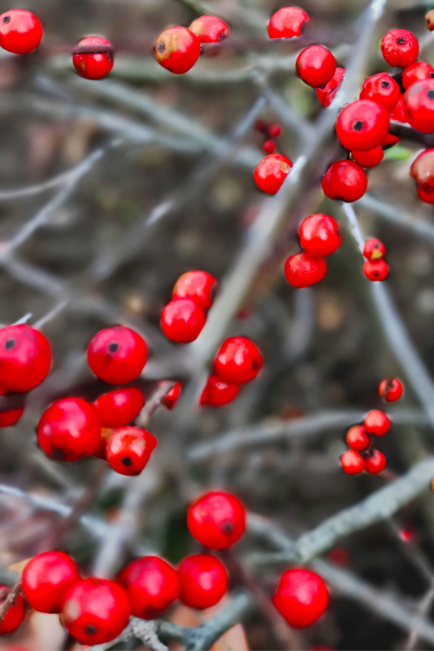 red, close-up, fruit, focus on foreground, no people, freshness, berry fruit, rowanberry, food, nature, day, outdoors