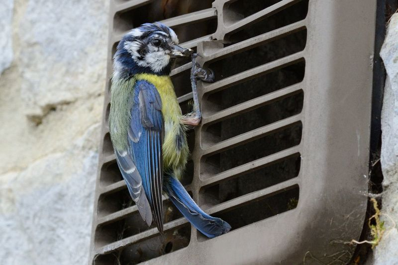 Close-Up Of Bluetit Over Air Duct On Wall