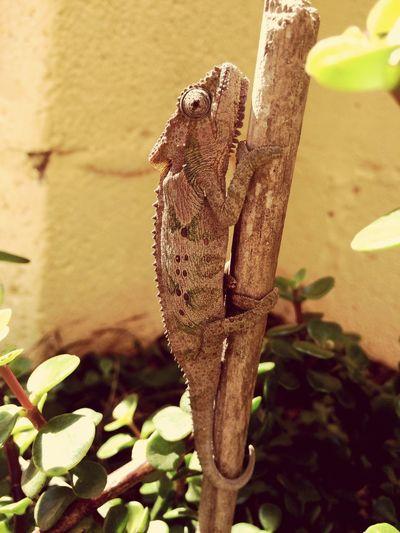 Chameleon 🌿