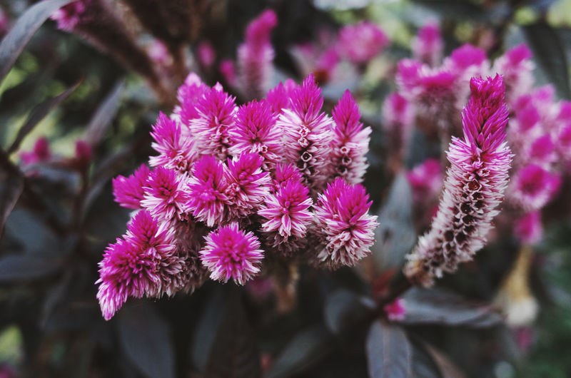 Flower Flowering Plant Plant Fragility Freshness Vulnerability  Close-up Petal Growth Beauty In Nature Inflorescence Flower Head Nature Focus On Foreground Day Pink Color No People Selective Focus Outdoors Purple