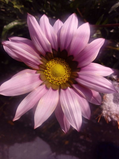 Beauty In Nature Blooming Close-up Day Flower Flower Head Fragility Gerbera Flower Growth Nature Outdoors Petal Plant