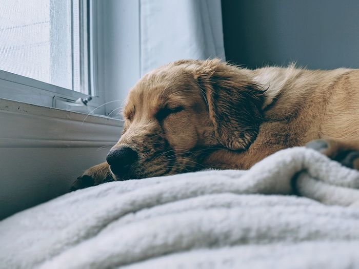 Luna Pets Dog Relaxation Winter Close-up Retriever Purebred Dog Canine Sleeping Napping Pet Bed Golden Retriever Puppy
