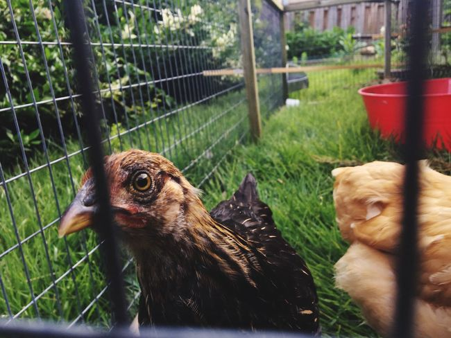 Domestic Animals Animal Themes Livestock Cage Bird Chicken - Bird No People Mammal Grass Day Outdoors Nature Pets Close-up