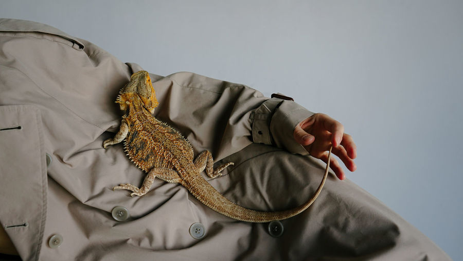 Close-up of lizard on blanket against white background