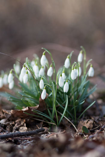 Snowdrops, its spring time! Plant Growth Beauty In Nature Flower Vulnerability  Close-up Freshness Fragility Selective Focus Flowering Plant Nature Snowdrop Day Land Field No People Leaf Plant Part Petal White Color Flower Head In The Forest