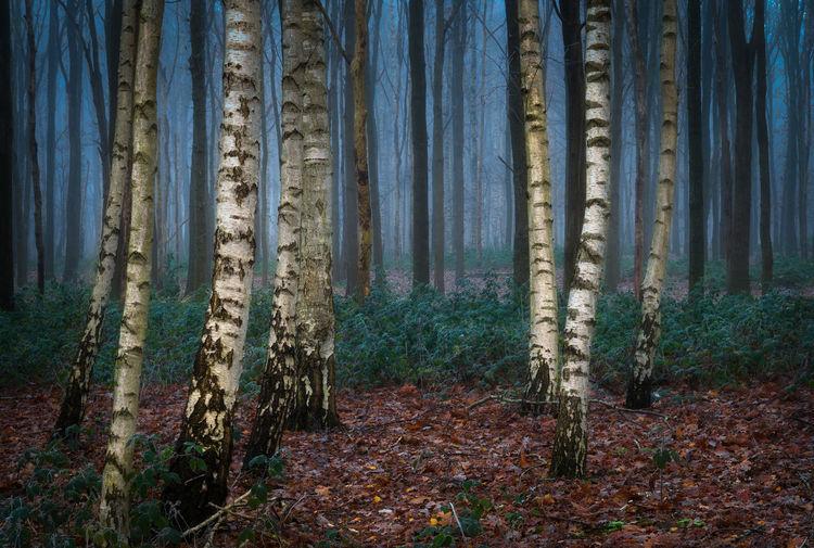 Some birch