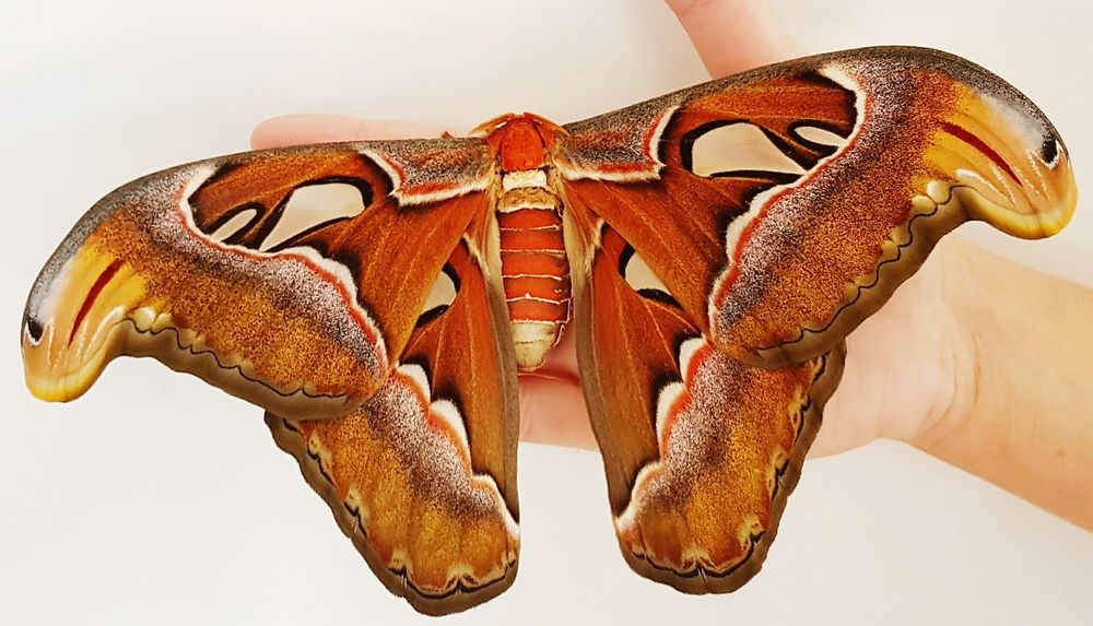 Attacus Atlas on my hand 💕 Butterfly - Insect Butterfly ❤ Butterfly Butterflies Butterfly Collection Holding Animal Animal Themes Tranquility Eyeemcollection Eyeemphoto EyeEm Gallery Close-up Insect Animal_collection Eyeemphotography Entomology EyeEmBestPics