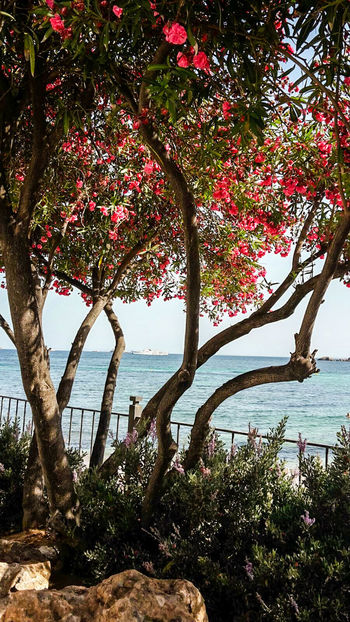 Isla De Ibiza Balearen Ibiza Stadt Blue Ocean Blue Sky Meer Insel Sunshine Summerday Ibiza Blütenzauber Schattenspiel  Tree