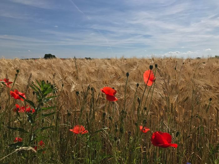 Field Growth Red Nature Flower Poppy Sky Beauty In Nature Plant Day No People Tranquility Outdoors Cloud - Sky Rural Scene Fragility Grass Freshness Flower Head Barnimerland