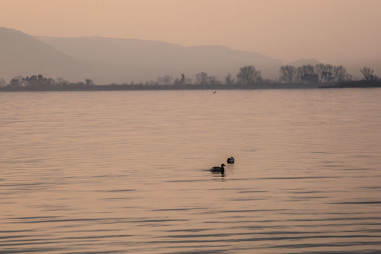 Silhouette duck swimming on river against sky during sunset
