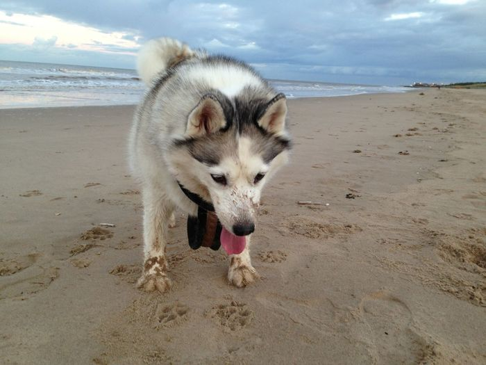 Skye on mablethorpe beach Siberian Husky Husky Beach Dogs