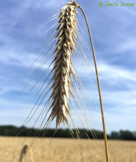 Korn Kornfeld Grain Grainfields EyeEm Nature Lover Cornfield Corn Field Ear Nature Nature_collection