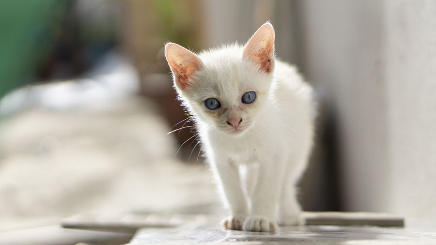 Portrait of white kitten