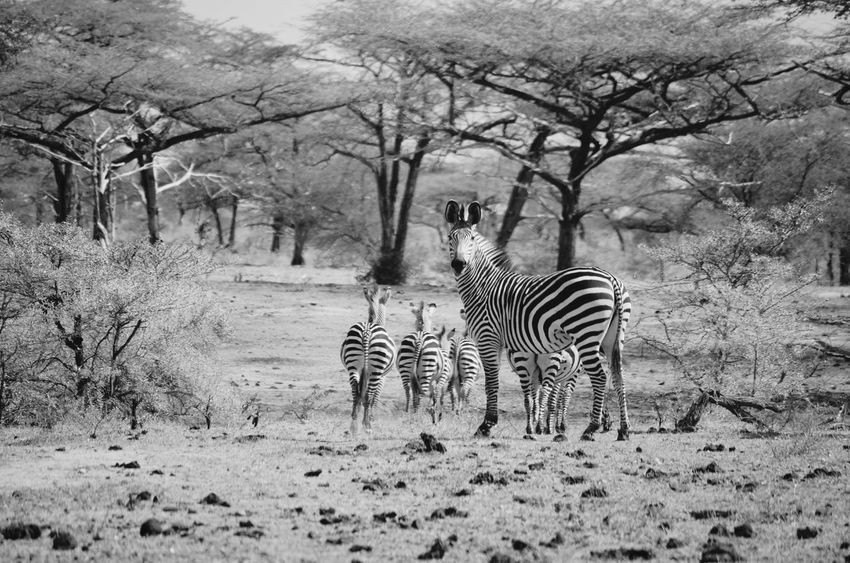 Zebra Zebra Zebra Stripes Zebra Herd Game Reserve Selous Selousgamereserve Africa Nature Herd Black & White EyeEm