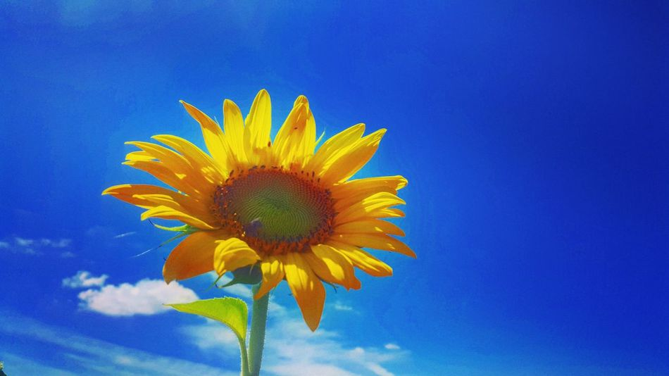 Sunflower Sunflowers🌻 Blue Sky Nature Nature_collection Flowers