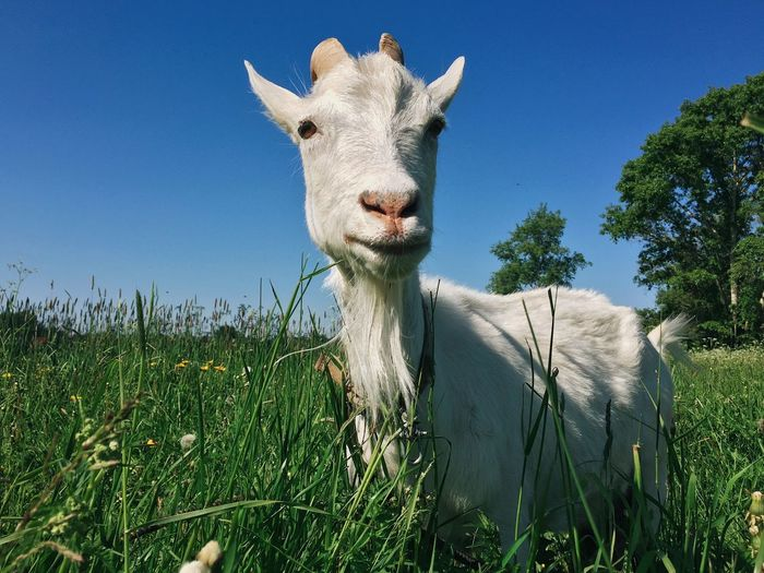 Russia, Suzdal - White goat is pasturing on a green meadow Travel Funny Cute White Domestic Village Agriculture Blue Meadow Pasture Goat Animal Themes Grass Domestic Animals Mammal Looking At Camera Field Day One Animal Portrait Clear Sky Blue Livestock Sky Nature Growth No People Outdoors Close-up Beauty In Nature