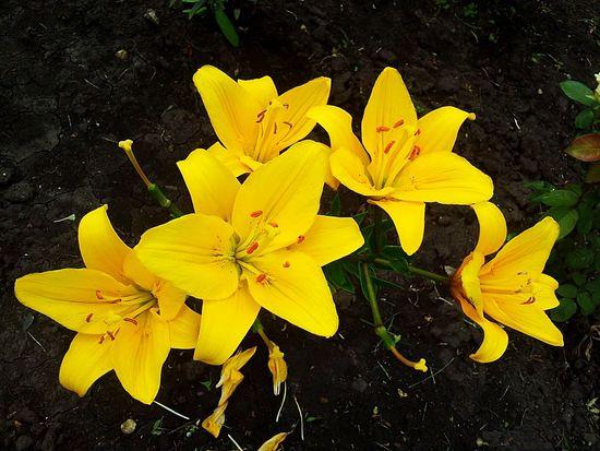 Beautiful Flowers Lily Yellow