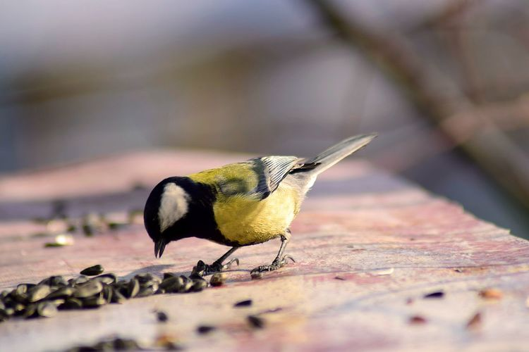 Great tit feeding on seeds while perching at retaining wall