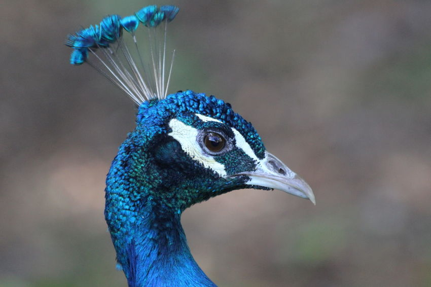 Animal Themes Beauty In Nature Bird Blue Day Grass Green Nature One Animal Outdoors Peafowl Standing Walking