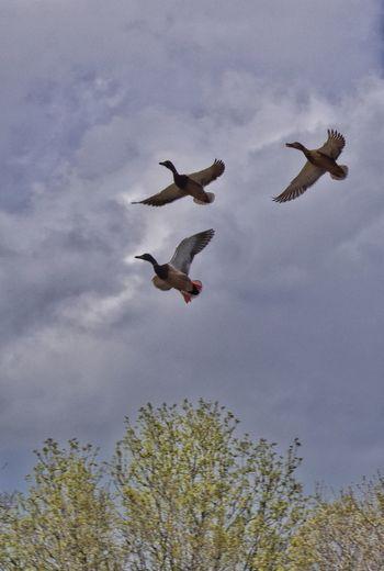 Ducks (not quite) in a row. Ducks Flight Birds In Flight EyeEm Birds Sony A6000