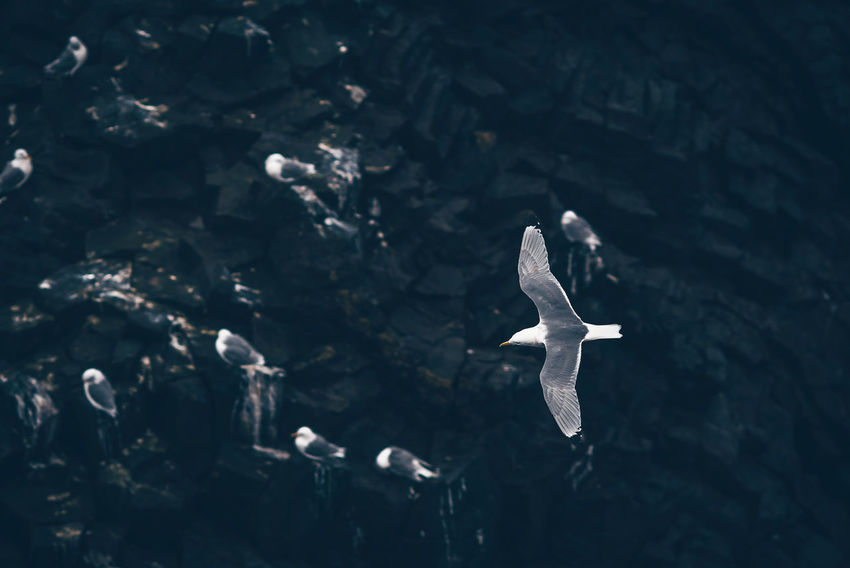 Flying bird Iceland Animal Animal Themes Animal Wildlife Animals In The Wild Bird Day Flying High Angle View Marine Nature No People One Animal Outdoors Sea Seagull Vertebrate Water