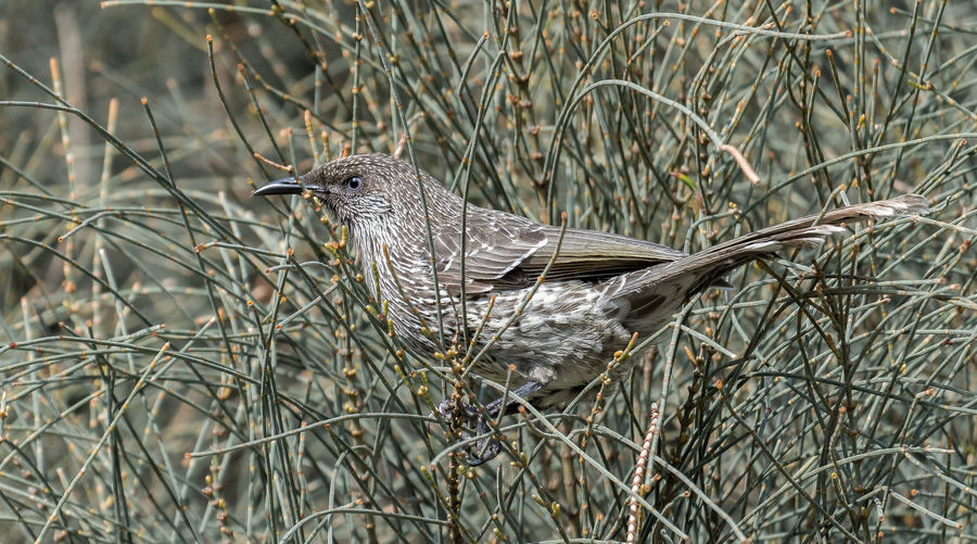 Wattle Bird Animal Animal Themes Animal Wildlife Animals In The Wild Bird Branch Close-up Day Field Focus On Foreground Land Nature No People One Animal Outdoors Perching Plant Side View Tree Vertebrate