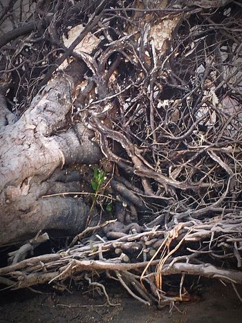 Break The Mold EyeEmNewHere Brisbaneeyeem Dead Tree Root Nature Tree Of Life Outdoors Beauty In Nature Art Is Everywhere Renewal  Life And Death Beachphotography Tree Roots No People Branch Shells🐚 EyeEm Nature Lover Nature Complexity Roots Of Life Day Thick Old And New Elements