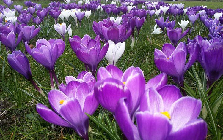Crocus Crocuses Spring Crocuses Spring Flowers Spring Purple Purple Color Purple Flower No People Close-up Outdoors Beauty In Nature Crocusflowers