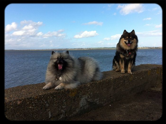 Dog Conya Dogs Finnish Lapphund