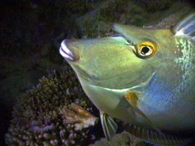 Unicorn Fish Tropical Fish Red Sea Underwater Photography