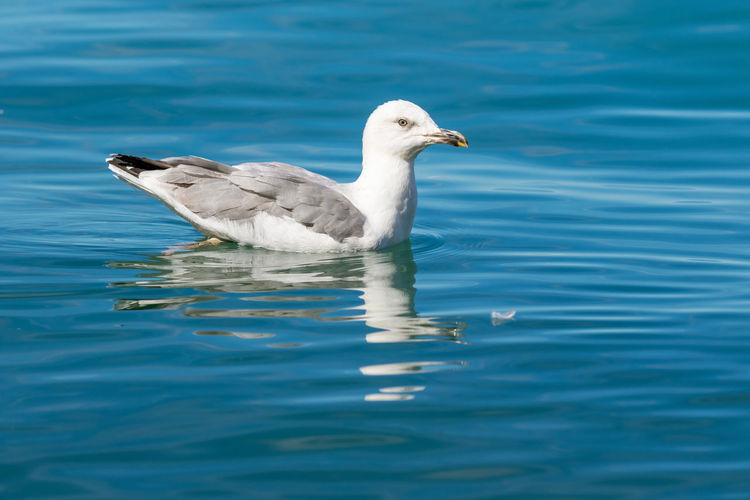 Yellow-legged gull swimming on the adriatic sea, croatia