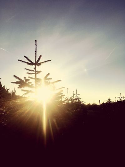 Christmas Tree Silhouette Sky Sunset Sun No People Outdoors Sunlight