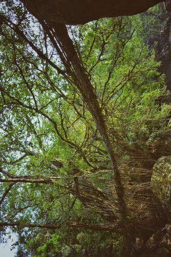 Rotate the screen and see Tree Nature Forest Low Angle View Beauty In Nature Growth Day Tranquility Branch Green Color Outdoors No People Tree Trunk Bamboo - Plant Bamboo Grove Leaf Sky Freshness Earth 🌎 Nature Photos Around You Beauty In Nature Travelgram Lifeporn Environment