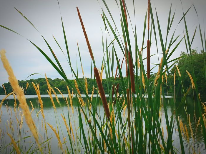 Corn dogs growing in their natural habitat 😉!!! Cattails By The Lake Enjoying Life Beautiful Day Check This Out The Essence Of Summer OpenEdit Atthelake Iowa Eyemnaturelover Pretty♡ 43 Golden Moments