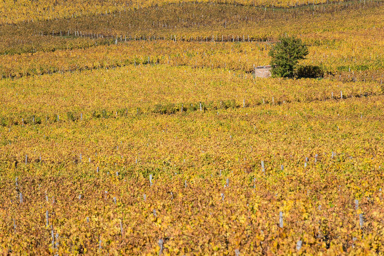 Bourgogne Bourgogne-Franche-Comte Burgundy Autumn In A Row Tree Agriculture Beauty In Nature Building Exterior Built Structure Day Field Landscape Nature No People Outdoors Rural Scene Scenics Vineyard Plant Growth