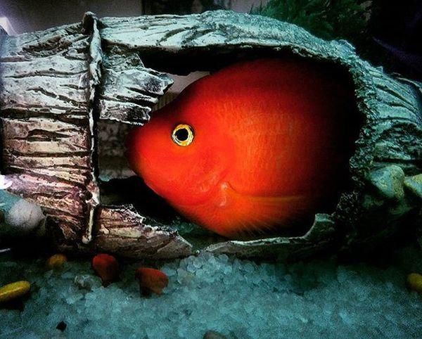 Amber Parrotfish Myaquarium Aqualife Chandigarh Mybaby Scaredfish Fishlover Nexus5photography