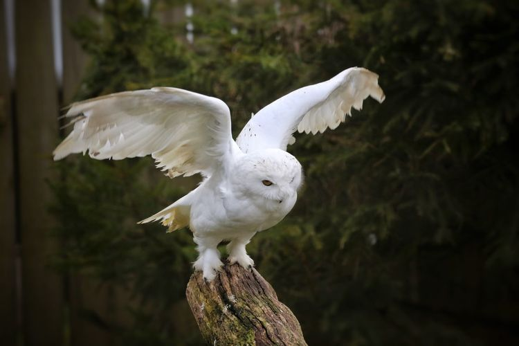 Animal Themes Birdland Bourton On The Water Cheltenham Close-up Day Nature No People One Animal Outdoors Snow Owl White Owl