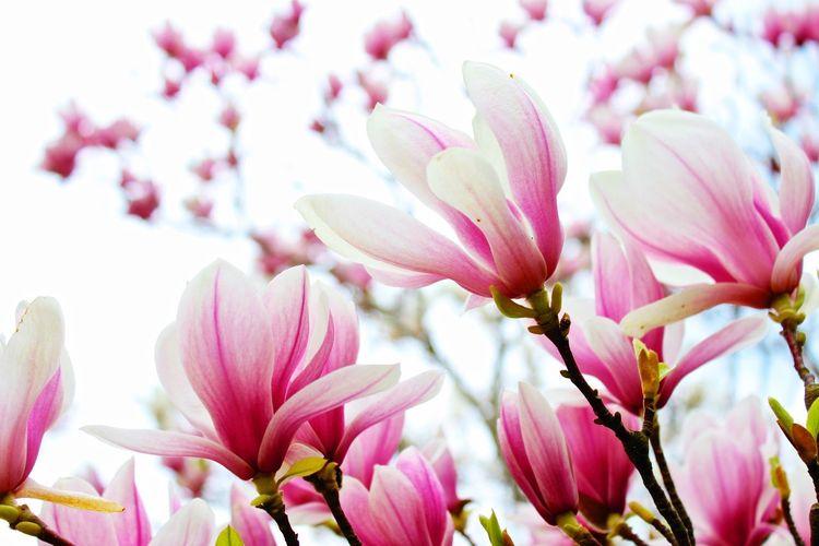 Spring Magnolia Beautiful Nature Market Bestsellers April 2016 Bestsellers