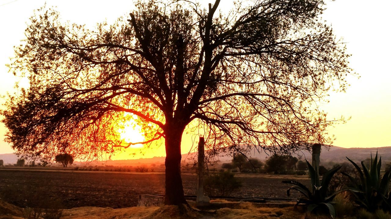 tree, sunset, nature, tranquility, beauty in nature, silhouette, tranquil scene, landscape, scenics, sky, outdoors, lone, tree trunk, clear sky, growth, no people, branch, day