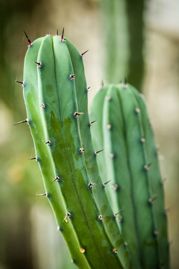 Green Color Focus On Foreground Growth Plant Close-up No People Nature Cactus Sharp Succulent Plant Beauty In Nature Thorn Spiked Outdoors Tranquility Selective Focus Field Plant Stem Spiky