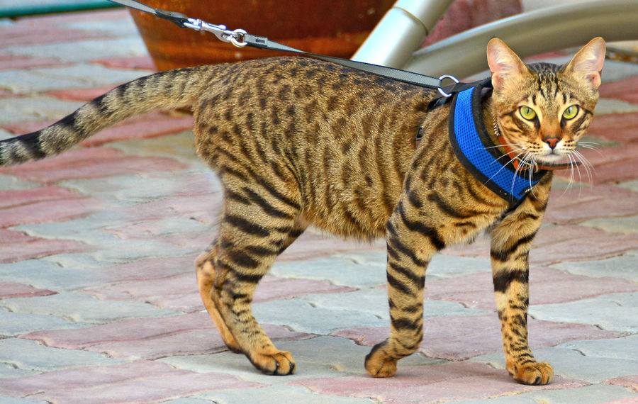 Bengal Cat Blue Collar Tiger Cat Animal Themes Cat On Lead Close-up Day Domestic Animals Domestic Cat Feline Mammal No People One Animal Outdoors Pets